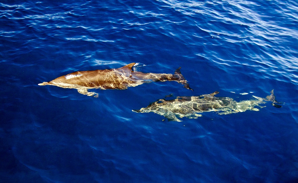 Dauphins Grenadines